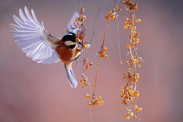 Ciri Ciri Burung Pipit