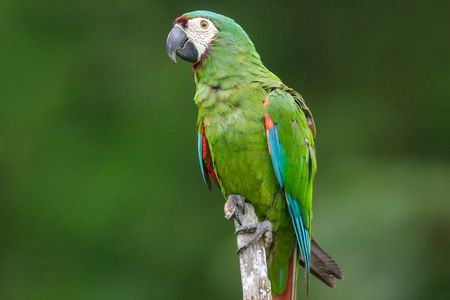 Severe (Chestnut-Fronted) Macaw