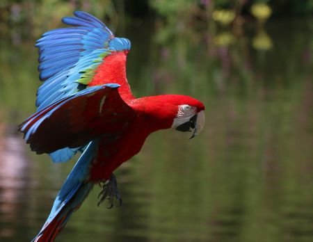 Green-Wing Macaw (Red and Green Macaw)